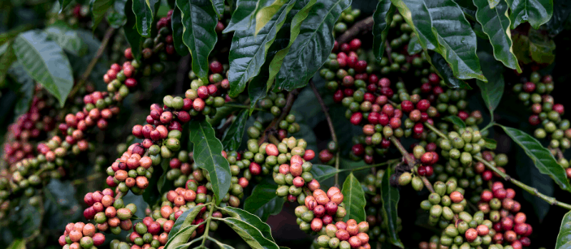 Wat is kenmerkend aan Illy koffiebonen